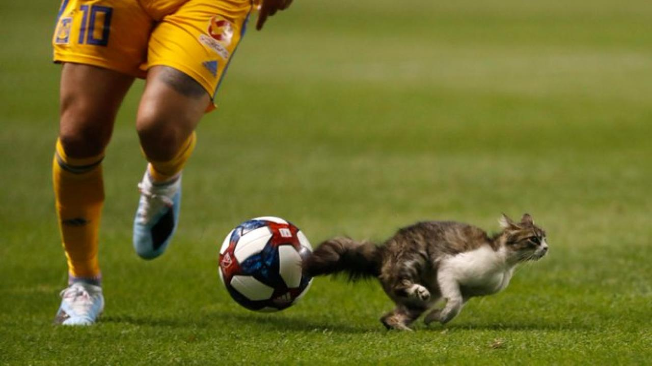 Cat on the pitch