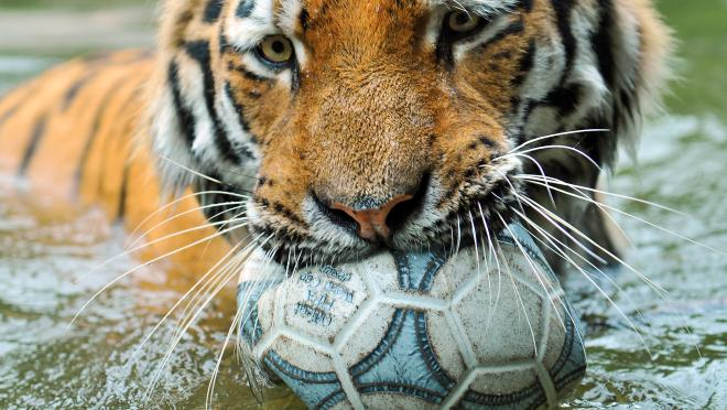 Tiger with soccer ball