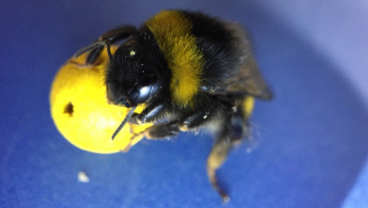 Scientists Taught These Bees To Play Soccer